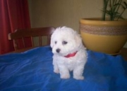 VENDO HERMOSOS POODLE  MINI TOY, DE COLOR BLANCO