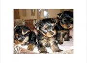 Tres cachorros de yorkie para regalar