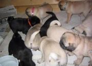 Brown Pug cachorros para la venta