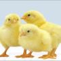 Vendo pollitos bb,  ponedoras bb coloradas y blancas
