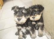 vendo ultimos cachorrito schnauzer miniatura